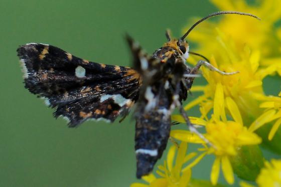 Very small moth - Thyris maculata