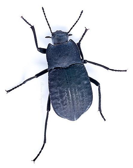 Black beetle - Stenomorpha opaca