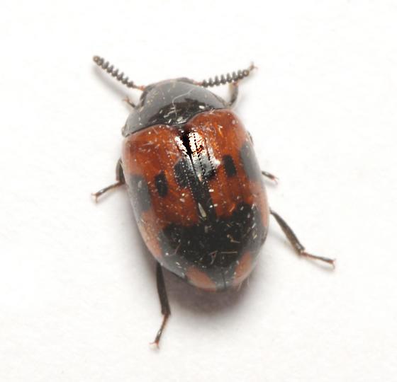 Tenebrionidae, dorsal - Diaperis nigronotata