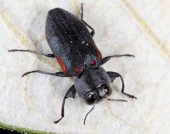 Chrysobothris axillaris