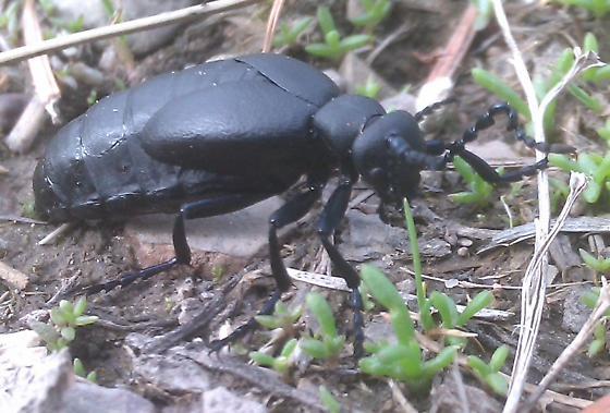 Beetle or Ant or? - Meloe niger