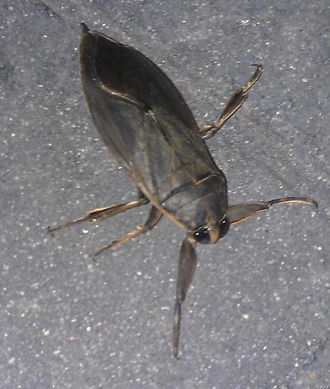 winged bug outside walmart - Benacus griseus