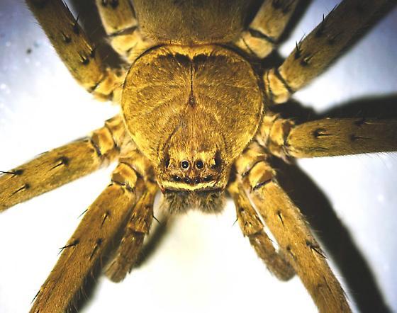 Large brown spider in North Central Florida - Heteropoda venatoria