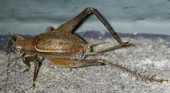 Restless Bush Cricket (Hapithus agitator)? - Hapithus agitator - female