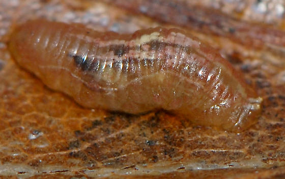 Syrphid Fly Larvae
