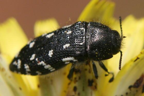 Buprestidae acmaeodera rubronotata - Acmaeodera ornata