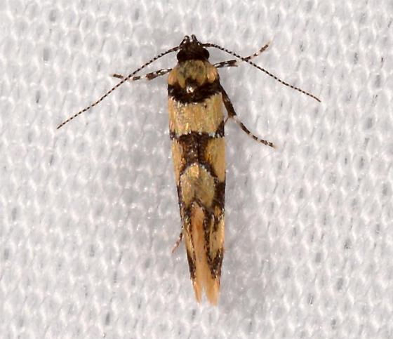 Decantha boreasella  - Decantha boreasella