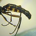 Ichneumonidae sp. - male
