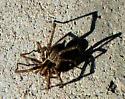 Nursery Web Spider-? - Agelenopsis