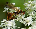 Colorful Ichneumon wasp? - Spilopteron vicinum - female