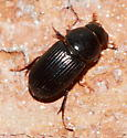 Beetle - Ataenius