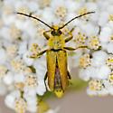 Yellow velvet long-horned beetle - Lepturobosca chrysocoma