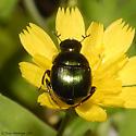 Beetle 04.27.2009 012 - Canthon viridis