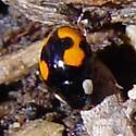 a very small ladybird beetle - Hyperaspis connectens