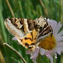 Moth - Drasteria