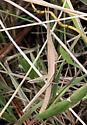 Grasshopper? - Achurum carinatum