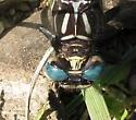 Gomphidae - Stylurus notatus