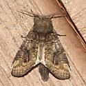 Oblique Heterocampa - Heterocampa obliqua - male