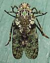 Aetalion species? - Calyptoproctus marmoratus