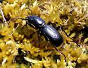 Omus submetallicus G. Horn, 1868 - Omus submetallicus - female