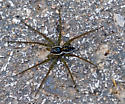 Fishing Spider - Dolomedes triton
