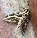 Moth on the porch - Eumorpha vitis