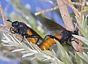 Decoupled Mating Pair of Mydids - Mydas ventralis - male - female