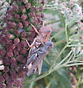 Grasshoppers - Melanoplus differentialis - male - female