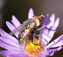 Tachinid (?) fly on aromatic aster - Archytas marmoratus