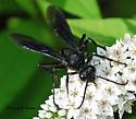 Great Black Wasp  - Sphex pensylvanicus