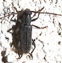 Long horned Beetle - Anelaphus