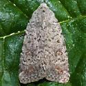 Unknown Moth - Caradrina multifera
