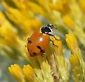 Lady Beetle - Hippodamia