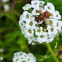 Squat syrphid like fly? - Gymnoclytia