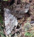 moth - Melanolophia imitata
