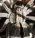 spider, pale gray, black elongated diamond - Thanatus