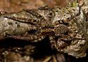 Wolf Spider # 2 - Gladicosa