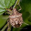 UI Stink Bug for ID - Euschistus