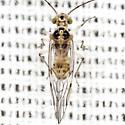 Barklouse - Teliapsocus conterminus - male