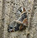 Pretty Resting Moth - Xanthorhoe ferrugata - female