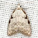 Three-spotted Nola Moth - Hodges #8992 - Nola triquetrana