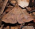 Renia new species 8389.96? - Renia new-species - male