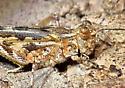 Probable Groove-headed Grasshopper (Conozoa sulcifrons) - Conozoa rebellis - male