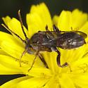 Hymenoptera IMG_4688 - Nomada articulata