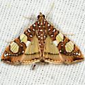 Mulberry Leaftier Moth - Glyphodes sibillalis