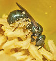 Unknown Halictid Bee - Ceratina floridana