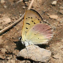 Lilac-bordered Copper - Lycaena nivalis