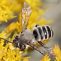 Milk Eyed Male Bee  - Megachile - male