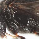 Ensign Wasp - Hyptia harpyoides