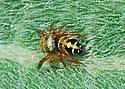 Jumping Spider on Coyote Gourd - Phidippus